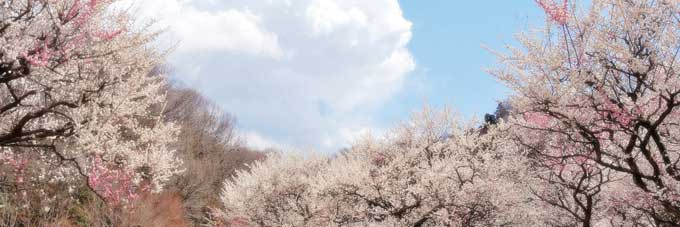 how-dust-of-cherry-blossoms11